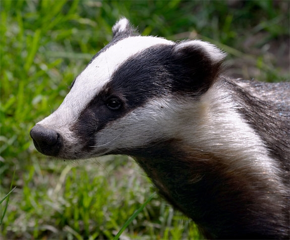 Slaughter of Badgers in England