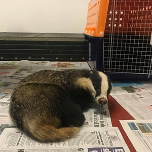 Badger Rescued at Portaferry