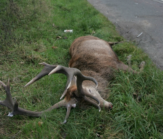 Stag Killed on A1 after Hunt