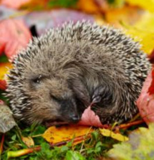 Pupils to the Rescue as Harry the Hedgehog is Saved!