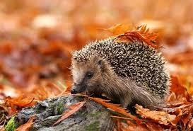 Autumn Juvenile Hedgehogs