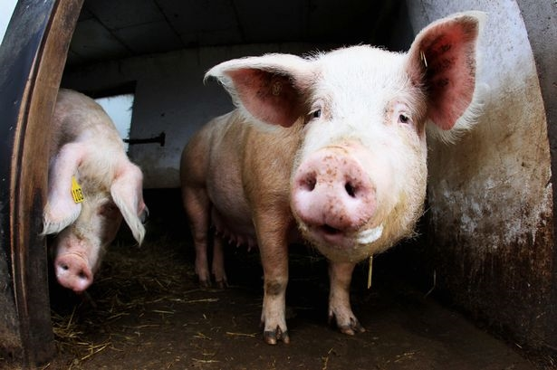 4300 Pigs Killed in Fire in Co Armagh