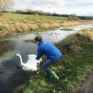 Swan Rescued and Returned Safely back to her Cygnets